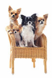 Four chihuahuas on a chair Royalty Free Stock Image
