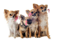 Four chihuahuas and flowers Royalty Free Stock Image