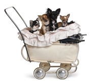 Four Chihuahuas sitting in baby stroller. In front of white background royalty free stock photography