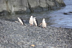 Four Chinstrap penguins in Antarctica. Four Chinstrap penguins (Pygoscelis antarctica) in Antarctica, standing on the beach Royalty Free Stock Photography