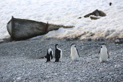 Four Chinstrap penguins in Antarctica. Four Chinstrap penguins (Pygoscelis antarctica) in Antarctica, standing near the wrecked wooden boat on the beach Royalty Free Stock Photo