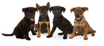 Four Chow and Shepherd Mix Puppies Royalty Free Stock Photos