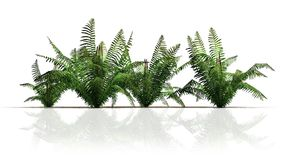 Four cinnamon fern plant. With reflektions - isolated on white background Stock Photos