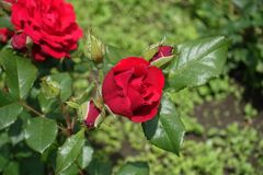 Four closed rose buds and half-opened one. Four closed rose buds and half opened one stock image