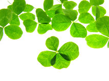 Four clover Stock Photography