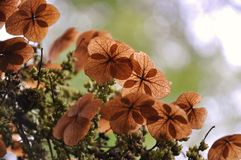 Four clover leaf. But it's on a tree Royalty Free Stock Photography