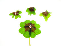 Four clover leaf Stock Photos