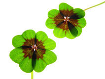 Four clover leaf Royalty Free Stock Photo