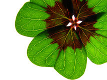 Four clover leaf Royalty Free Stock Photography