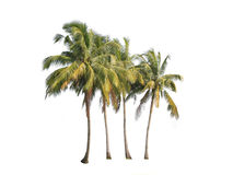 Four coconut palm trees isolated on white background Stock Photo