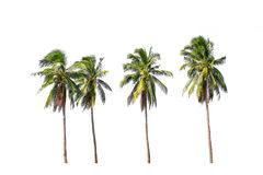 Four coconut palm trees isolated on white background. Royalty Free Stock Images