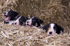 Four collie pups. Royalty Free Stock Photos