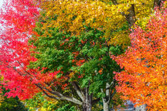 Four Colored Trees. Close up of a colorful hardwood trees in October Royalty Free Stock Photography