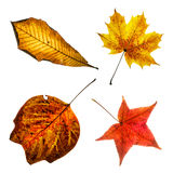 Four colorful autumn leaves. Colorful leaves isolated on the white background. Autumn collage. Beauty nature Stock Photos