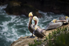 Four colorful brown pelicans resting on a rocky cliff in San Diego, California Royalty Free Stock Photos