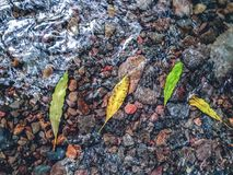 Four colorful leaves in the water during autumn stock image