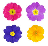 Four Colorful Primroses Flowers Isolated Royalty Free Stock Photos