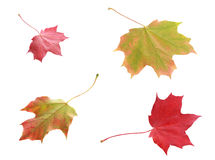 Four colorful variegated autumn leaves. Viewed from above and below in shades of red and green showing the changing colors with the change in season, isolated Royalty Free Stock Photos