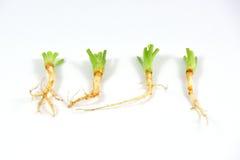Coriander root. Royalty Free Stock Image