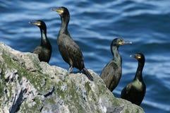 Four cormorants Stock Photography