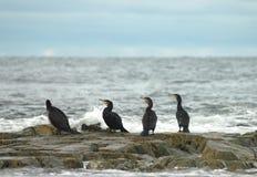 Four Cormorants Phalacrocorax carbo Stock Photos