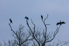 Four cormorants (Phalacrocorax carbo) sit on a dead tree branch. Royalty Free Stock Photo