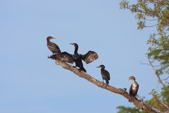 Four Cormorants Rest on a Branch. In the blue sky. One cormorant looks back in disdain at another as the second spreads its wings in an effort to dry them in royalty free stock images
