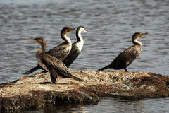 Four cormorants on a small island Royalty Free Stock Photo