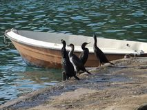 Four cormorants waiting for taxi-boat driver stock photos