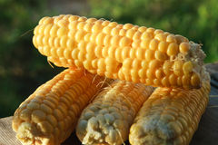 Four corns close up in solar light Stock Photos