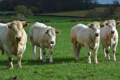 Four cows Royalty Free Stock Photography