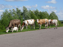 Four cows. Are grazed at road Stock Image