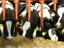 Four cows eating fodder Stock Images