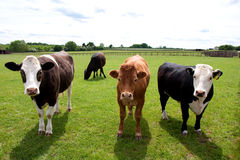 Four Cows in a Green Field Stock Images