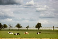 Four cows resting in front of greenhouses Royalty Free Stock Image