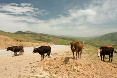 Four cows standing on a country road between the mountains Stock Photos