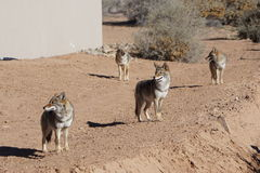 Four coyotes. A picture of four coyotes wandering around a neighborhood Stock Photo