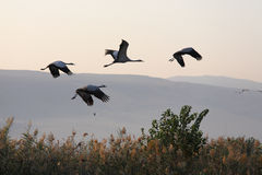 Four cranes in free flight Stock Image