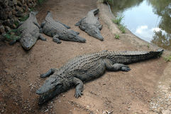 Four Crocodiles. Basking in the sun, on land Stock Images