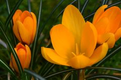 YELLOW CROCUS BLOOMS. Four, crocus flowers growing in a cluster in the grass Royalty Free Stock Image
