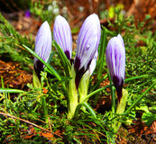 Four crocuses Stock Images