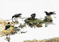 Four crows near the river Royalty Free Stock Images