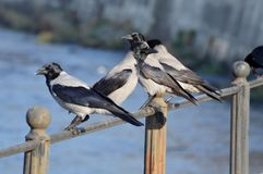 Four crows resting Royalty Free Stock Photo