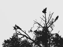 Four crows on the top of the pine. Royalty Free Stock Image