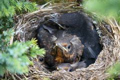 Four cuddling birds in nest curiously inspecting camera. Blackbirds looking out of their nest Stock Image