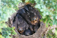 Four cuddling birds in nest looking at camera. Superb black-orange birds surprised in their home by a photographer Stock Image