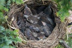Four cuddling birds in nest Stock Photos