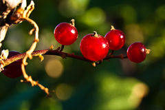 Four currants on a branche. Four currants on a branche on the green background. Macro stock photography