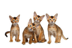 Four Cute Abyssinian Kitten Sitting on Isolated White Background Royalty Free Stock Photography