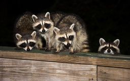 Four cute baby raccoons on a deck railing Royalty Free Stock Images